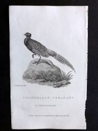 Cuvier C1830 Antique Bird Print. Changeable Pheasant